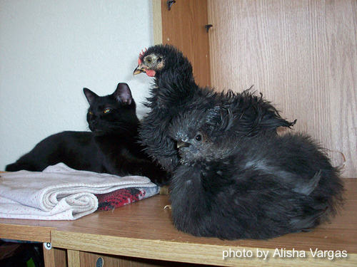 chicks inside