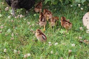 raising-chickens15