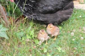 raising-chickens19