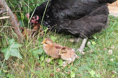 raising-chickens20