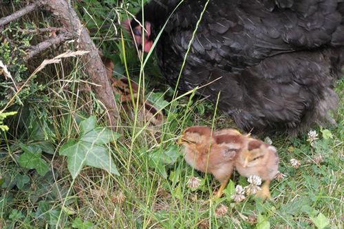 Chicken Care : Housing