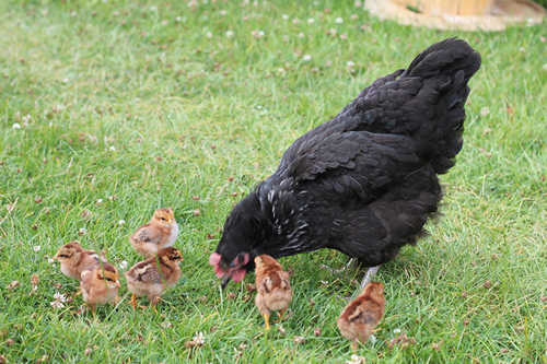 chicks roaming with their mother