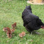 raising-chickens6