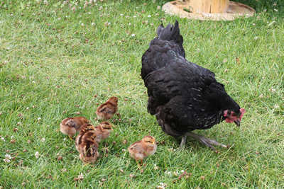Getting Started with Baby Chicks