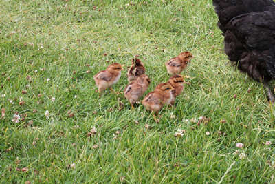 baby brown chicks free range